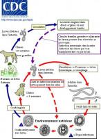 Les zoonoses, maladies du chien transmissibles à l'Homme