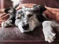 Les conséquences des vers sur le chien
