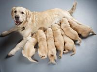 Comment le chien est-il contaminé par les vers ?