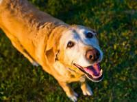 Les signes de vieillesse chez le chien