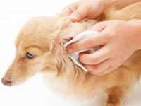 Quand et comment nettoyer les oreilles d'un chien ?