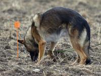 L'éducation du chien au pistage