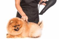 Toiletter son chien avant une exposition canine