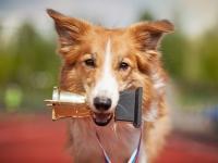 Le déroulement d'un concours de beauté canin
