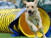 L'agility, une discipline ouverte à tous les chiens