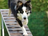 L'agility et les catégories de chiens