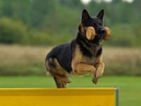 Les critères de participation à un concours d'obéissance canine