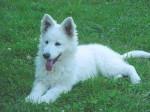 Chien Fidji - Berger Blanc Suisse Femelle (2 ans)