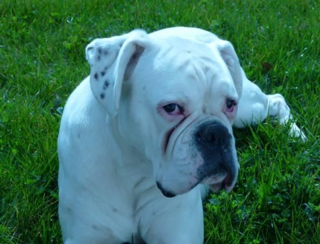 Photo Bahia boxer blanc : Boxer
