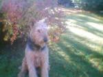 Chien Victor - Airedale Terrier Mâle (0 mois)