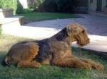 Chien Guernica - Airedale Terrier Femelle (11 ans)