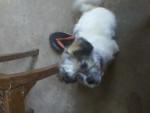Chien manchita - Airedale Terrier Femelle (3 mois)