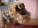 Chien Süßjen - Airedale Terrier Femelle (10 ans)