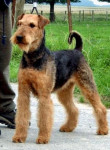 Chien Airedale Terrier - Airedale Terrier  (0 mois)