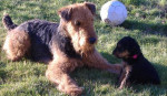 Chien airedale terrier vanille - Airedale Terrier  (0 mois)