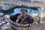Chien airedale terrier 2mois et demi - Airedale Terrier  (0 mois)
