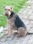 Chien airedale terrier  vicky - Airedale Terrier  (0 mois)