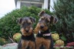 Chien Airedale Terrier Giroflée et Géraldine - Airedale Terrier  (0 mois)