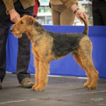 Chien Airedale Terrier Norbert - Airedale Terrier  (0 mois)