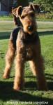 Chien Airedale Terrier Géraldine - Airedale Terrier  (0 mois)