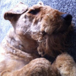 Chien Scooby se repose - Airedale Terrier  (0 mois)