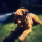 Chien Airedale Terrier de 5 ans : Scooby - Airedale Terrier  (5 ans)