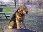 Chien Scooby, Airedale Terrier de 5 ans - Airedale Terrier  (5 ans)