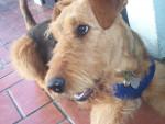Chien Lola comme on l\'apelle - Airedale Terrier  (0 mois)