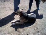 Chien alexis - Airedale Terrier Mâle (24 ans)