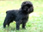 Chien Dog - Affenpinscher  ()