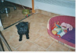 Chien Affenpinscher  mon nom est Tara - Affenpinscher  (0 mois)