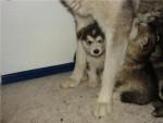 Chien cachorros - Malamute d\'Alaska  (2 mois)