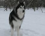 Chien kane - Malamute d\'Alaska Mâle (4 ans)