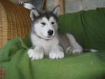 Chien Jack - Malamute d\'Alaska Mâle (5 mois)