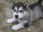 Chien Kira - Malamute d\'Alaska Femelle (1 mois)
