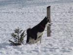 Chien Alaskan Malamute, Vanda Voof - Malamute d\'Alaska  (0 mois)