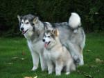 Chien Bryze et Coco Chanel - alaskan malamute - Malamute d\'Alaska  (0 mois)