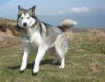 Chien Djuna femelle Malamute d\'alaska de 2 ans - Malamute d\'Alaska  (2 ans)