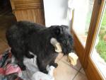 Chien jules du clos de la luette - Bouvier des Flandres  (0 mois)