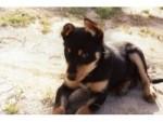 Chien Tera (puppy) - Berger australien Kelpie Femelle (2 mois)
