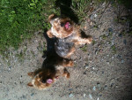 Chien Tiffy und Omii - Silky Terrier Femelle (13 ans)