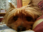 Chien mon swifer - Silky Terrier Femelle (7 ans)
