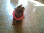 Chien swifer - Silky Terrier  (7 ans)