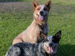 Chien Australian cattle dog - Australian Stumpy Tail Cattle Dog  (0 mois)