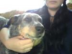 Chien Harley - Australian Stumpy Tail Cattle Dog Mâle (0 mois)