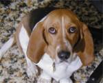 Chien Henrietta - Basset artésien normand Femelle (4 ans)