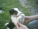 Chien bébé fripouille - Colley barbu Femelle (1 mois)