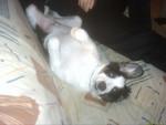Chien pouille fait l\'andouille - Colley barbu Femelle (7 mois)