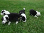 Chien Hapla;Higori;Hifi;Hopla - Colley barbu  (1 mois)