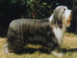 Chien Bearded Collie - Colley barbu  ()